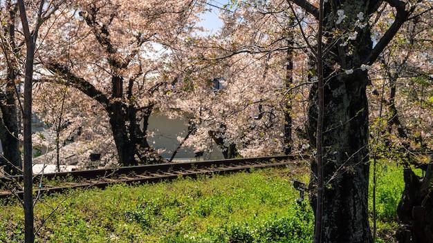 Японский пригородный поезд киото движется по железнодорожным путям с цветущей сакурой вдоль железной дороги в весенний сезон. дерево сакуры с ландшафтом железной дороги. транспорт для осмотра достопримечательностей японии.