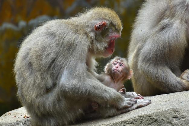 Японская обезьяна макака