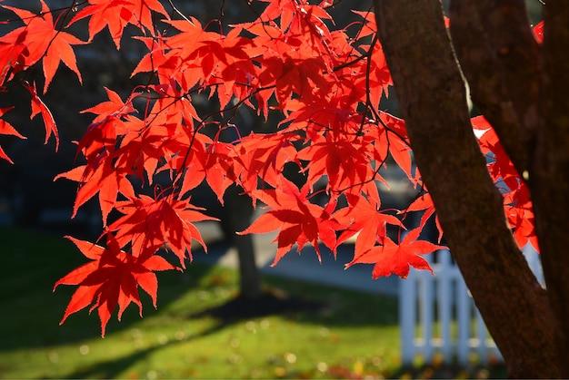 일본 단풍 나무는 가을에 맑은 배경에 나뭇잎