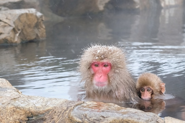 Japanese mother and baby snow monkeys in natural hot spring bath