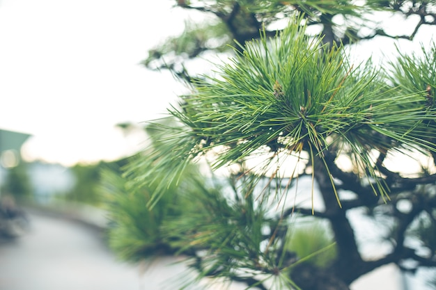 Japanese pine tree shallow depth of field vintage color tone