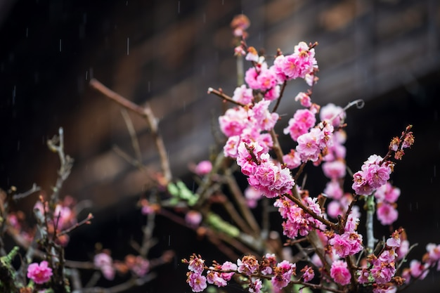 Japanese pink apricot flowers with rain