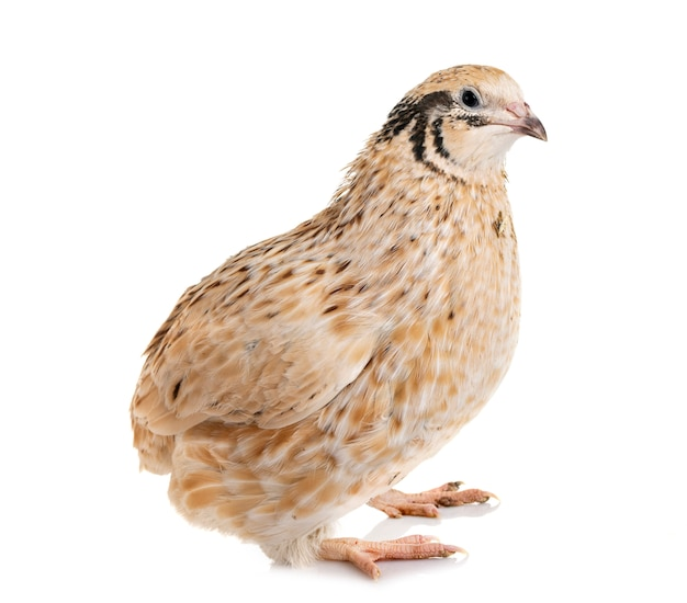 Japanese quail in studio