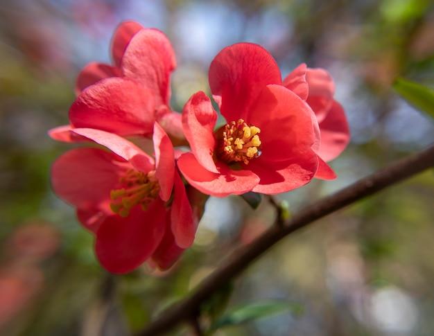 일본 모과 꽃. chaenomeles, 화창한 날 봄 시간에 작은 붉은 꽃