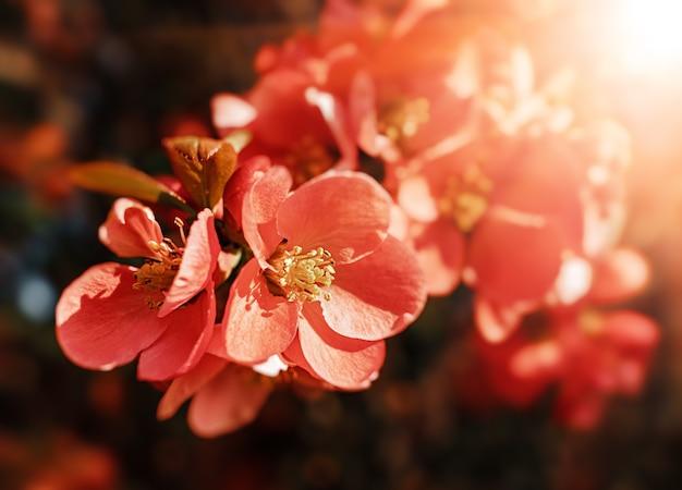 모과 꽃. 봄의 작은 붉은 꽃, chaenomeles