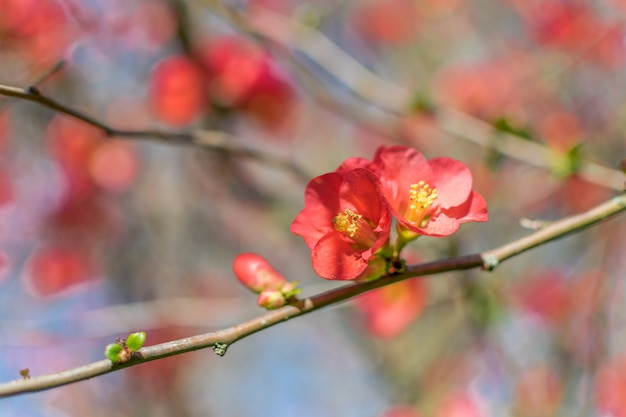 Japanese quince scarlet flowers against a blurred background with space