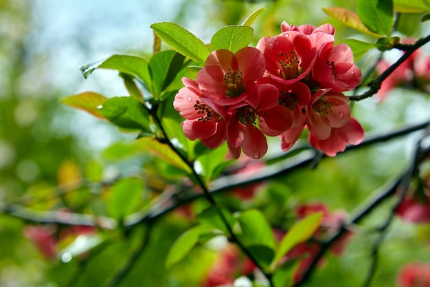 Japanese quince with water drops after rain on a background of green leaves