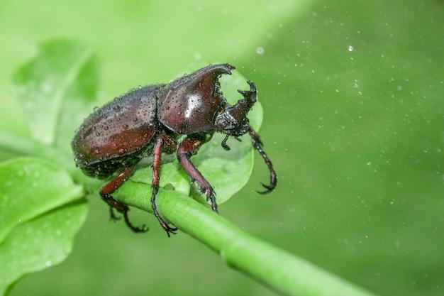 緑のカブトムシ