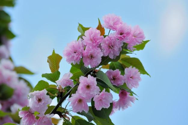 푸른 하늘과 일본 사쿠라 꽃