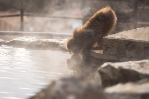 Japanese snow monkey macaque drink hot spring water with steam at sunset of jigokudani park, yamanouchi, nagano, japan. wild animal prevent cold and keep warm during winter season.