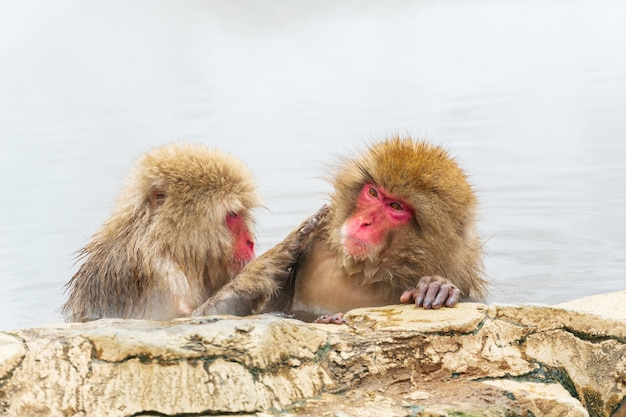 Japanese snow monkey (macaque) relaxes in the hot spring in winter at snow monkey park.