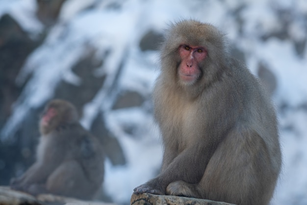 Japanese snow monkey near of onsen hot springs at winter. a wild macaque on rock of warm pool located in jigokudan park, nakano, japan. macaca fuscata at winter season in mountain