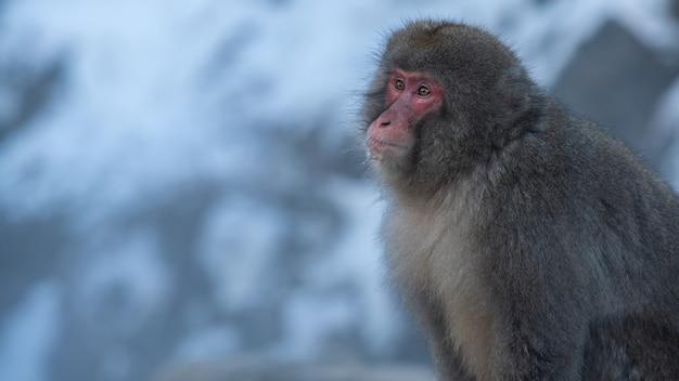 Японская снежная обезьяна на заснеженной горе в зимний сезон. дикая макака в естественной среде обитания, расположенная в парке дзигокудан, накано, япония. macaca fuscata в условиях холодного климата