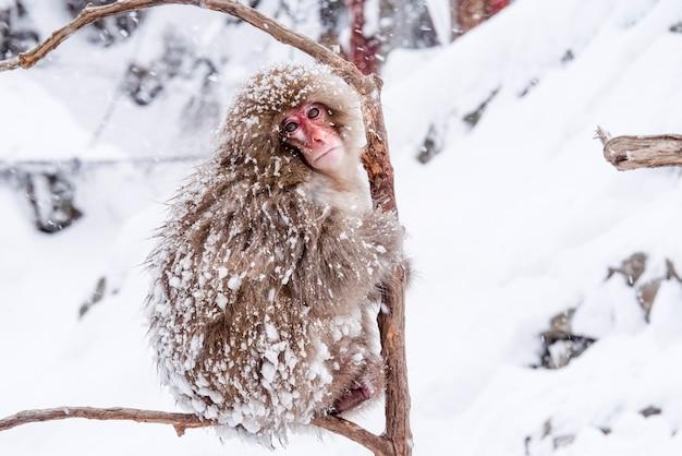 ニホンザルは温かい温泉に座っています。ママは小さな子供を抱きしめています、雪の帽子は母親の頭にあります。雪が降っています