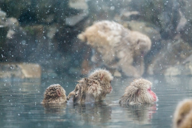 Japanese snow monkeys  in a natural onsen at jigokudani, japan