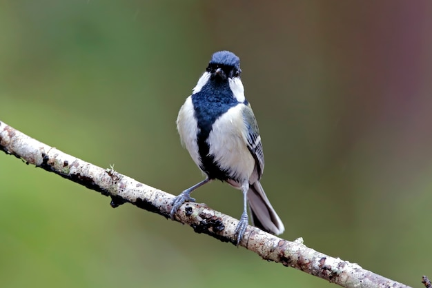 Japanese Tit Vectors, Photos and PSD files   Free Download