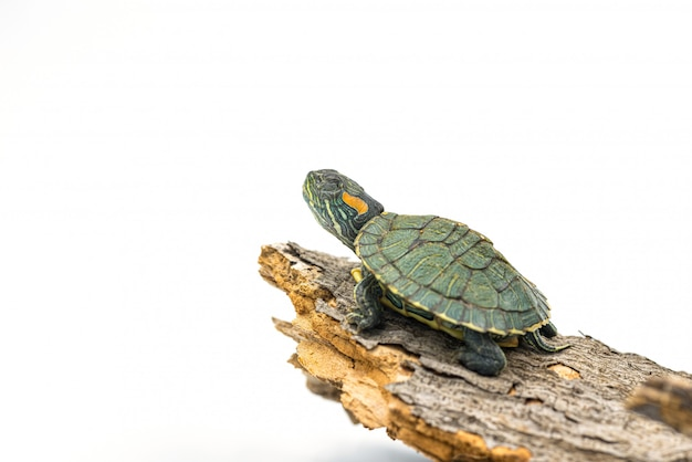 Japanese turtle on white background, red-eared slider