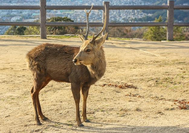 Japanese wild deer at the top of wakakusa mountain.