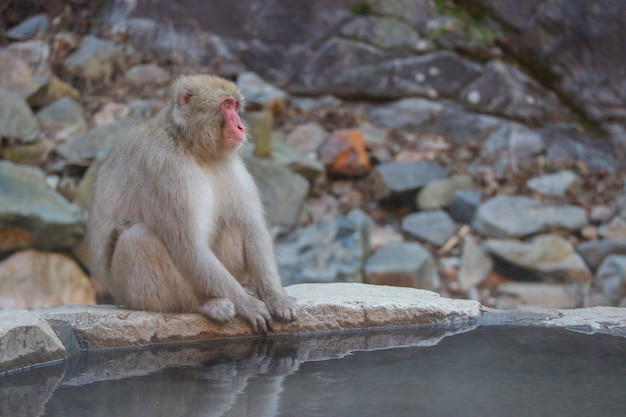 Japanese wild monkey with natural onsen.