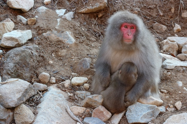 Japanese wild monkey with natural onsen