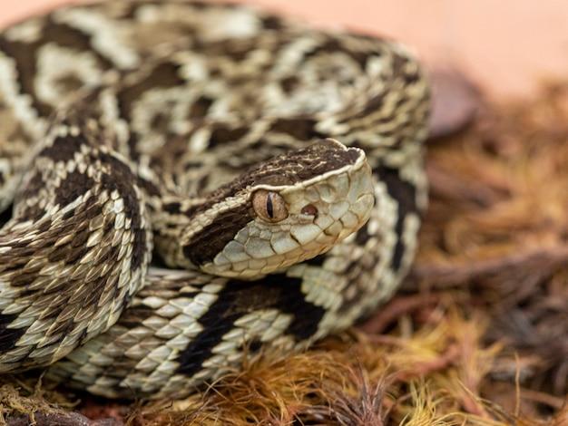 Jararaca 뱀 (bothrops jararaca) . 유독 한 브라질 뱀.