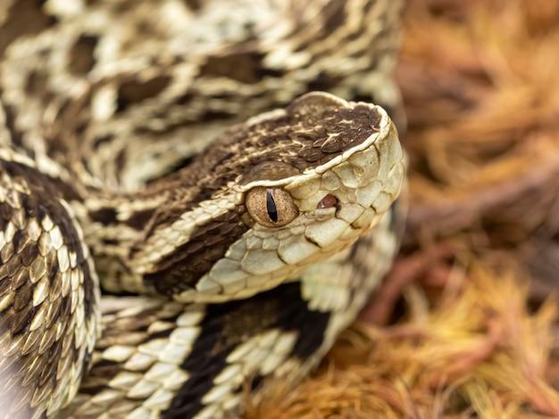 Змея джарарака (bothrops jararaca). ядовитая бразильская змея ..