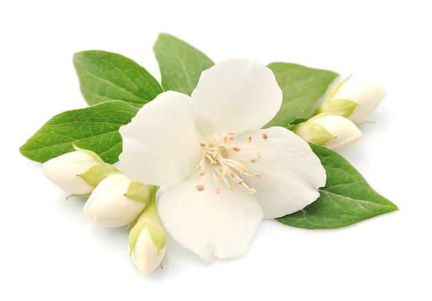 Цветы жасмина, изолированные на белом фоне