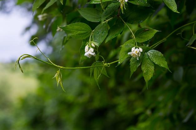 비가 온 후 녹색 잎과 흰색 꽃이 있는 재스민 가지