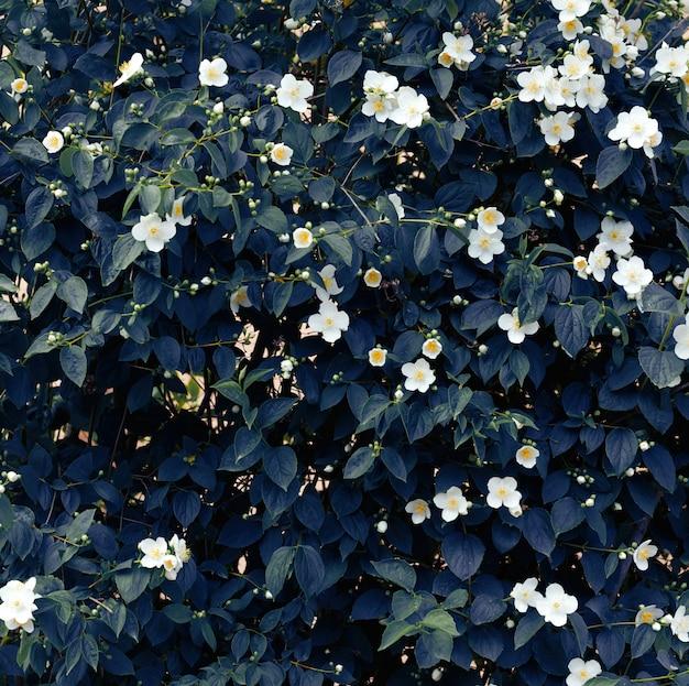 Ветка жасмина с белыми цветами и зелеными листьями