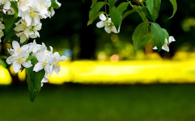 晴天の公園の木々を背景に白い花が咲くジャスミンの枝_