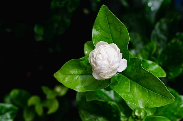 Жасмин цветок крупным планом