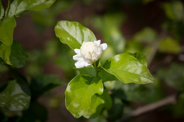 Jasmine flower in garden with blurred background.