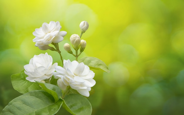 Jasmine flower on greenery