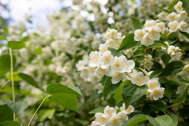 Jasmine flower growing on the bush in garden