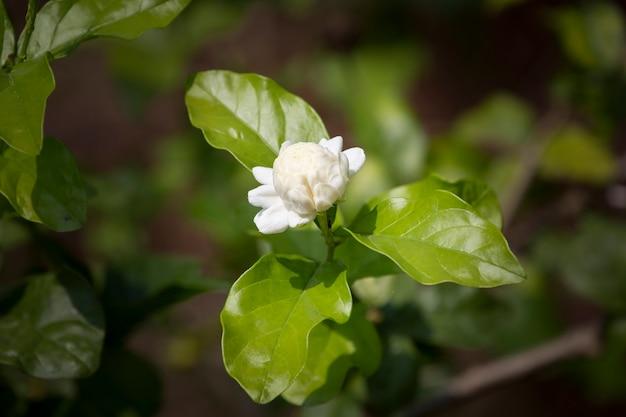 Цветок жасмина в саду с размытым фоном.