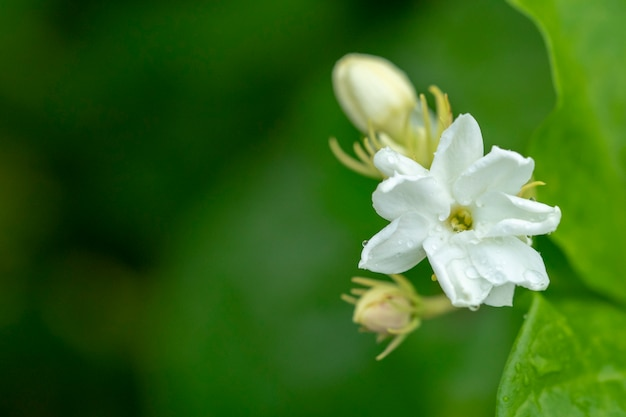 Цветок жасмина - символ дня матери таиланда.