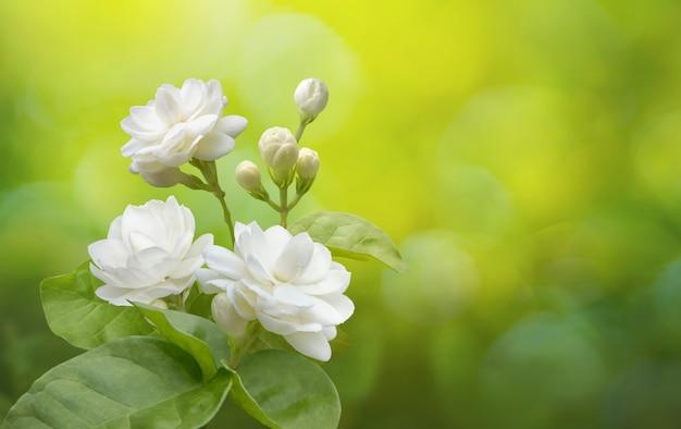 Цветок жасмина на зелени Premium Фотографии