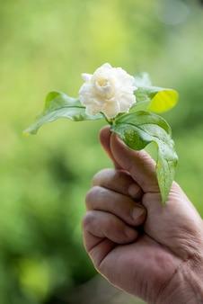 Цветок жасмина на фоне природы.