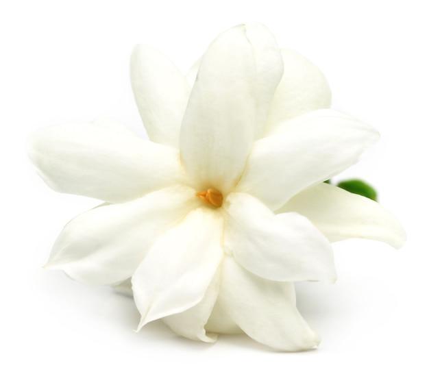 선택적 포커스가 있는 흰색 배경 위에 재스민 꽃