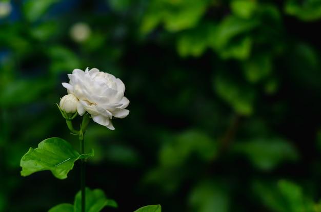 Цветок жасмина со своими листьями на день матери в таиланде на августе.