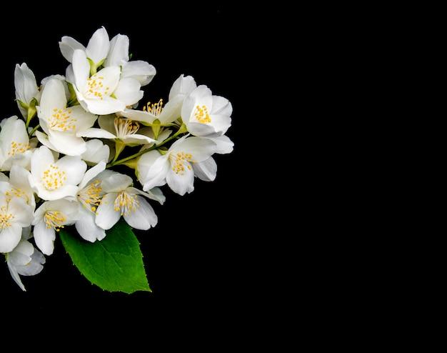 Jasmine flowers on a black