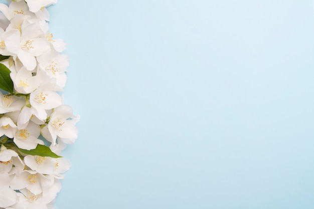 Jasmine flowers on a blue background with a copy space. concept summer, aroma, wedding