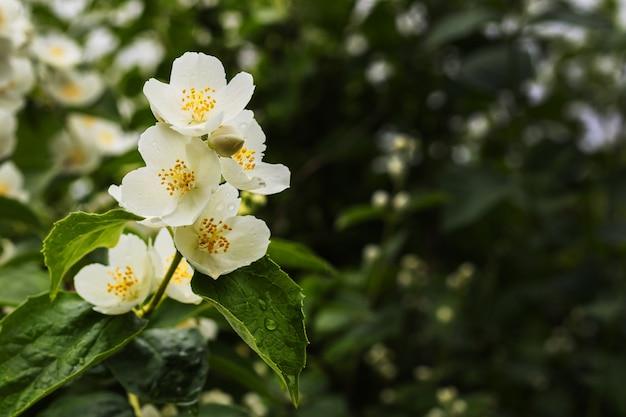 ジャスミンの花は、コピースペースで緑の背景に分岐します。