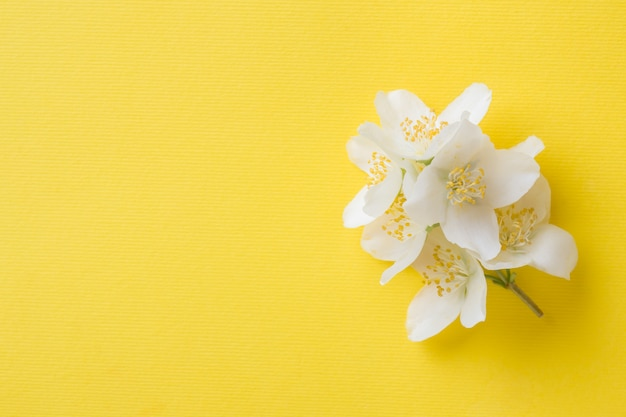 Jasmine flowers on a bright yellow