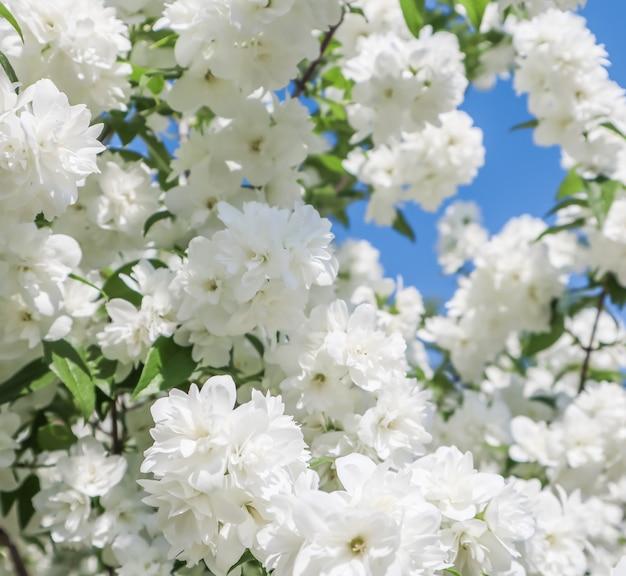 青い空を背景に白い花と枝の庭のクローズアップでジャスミンの花