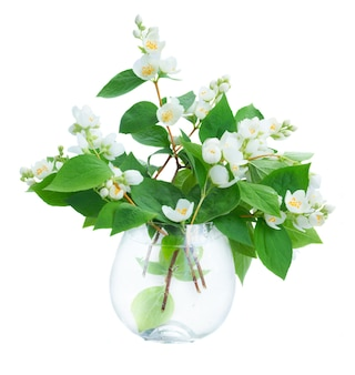 Jasmine flowers and leaves twigs in vase isolated on white