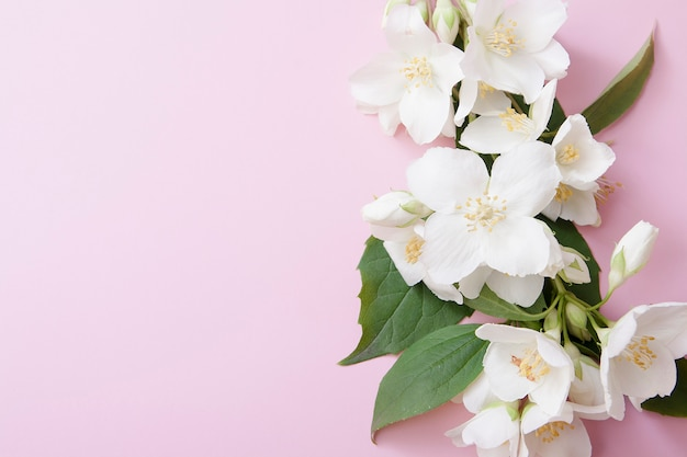 Jasmine flowers on a pink background with a copy space