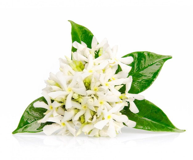 Jasmine flowers on white.