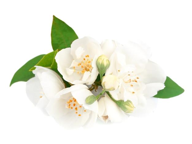 Цветки жасмина, изолированные на белом фоне