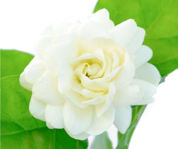 Jasmine isolated on white